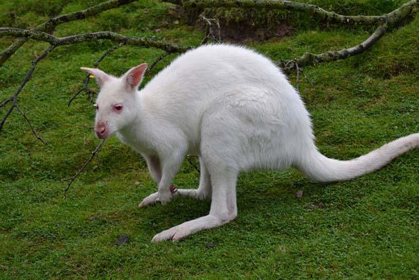 Ζώα Αλμπίνο (5)