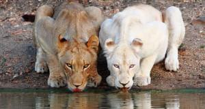 Ζώα Αλμπίνο σε 25 εκπληκτικές και σπάνιες φωτογραφίες