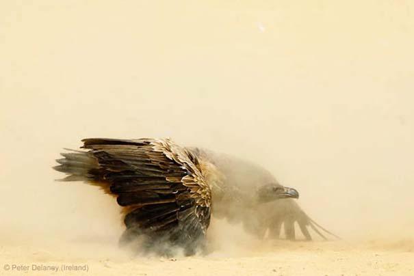 Wildlife Photographer of the Year 2013 (15)