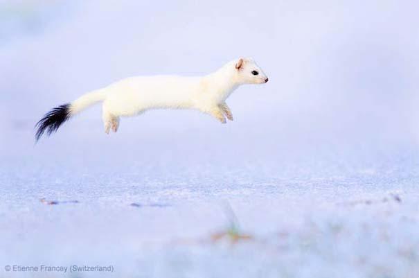 Wildlife Photographer of the Year 2013 (24)