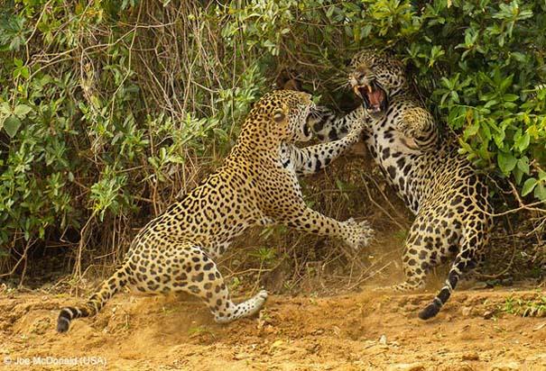 Wildlife Photographer of the Year 2013 (16)