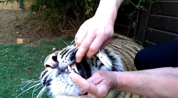 Αφαίρεση χαλασμένου δοντιού από το στόμα μιας τίγρης