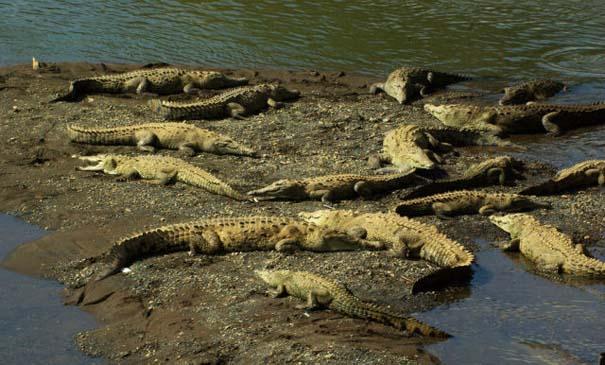 Ατρόμητος ξεναγός σε ποτάμι με κροκόδειλους (5)