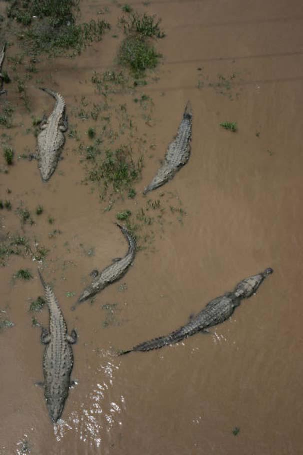 Ατρόμητος ξεναγός σε ποτάμι με κροκόδειλους (10)