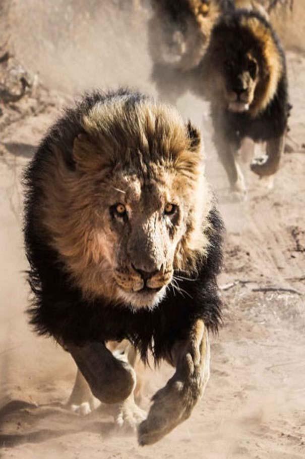 Ο φωτογράφος που έζησε με τα λιοντάρια στην Αφρική (19)