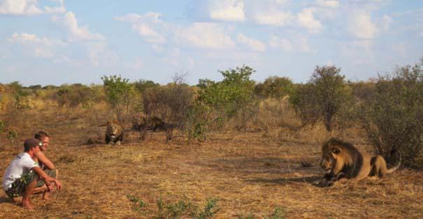 Ο φωτογράφος που έζησε με τα λιοντάρια στην Αφρική (31)