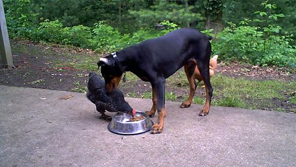 Κότα κλέβει τροφή από Doberman
