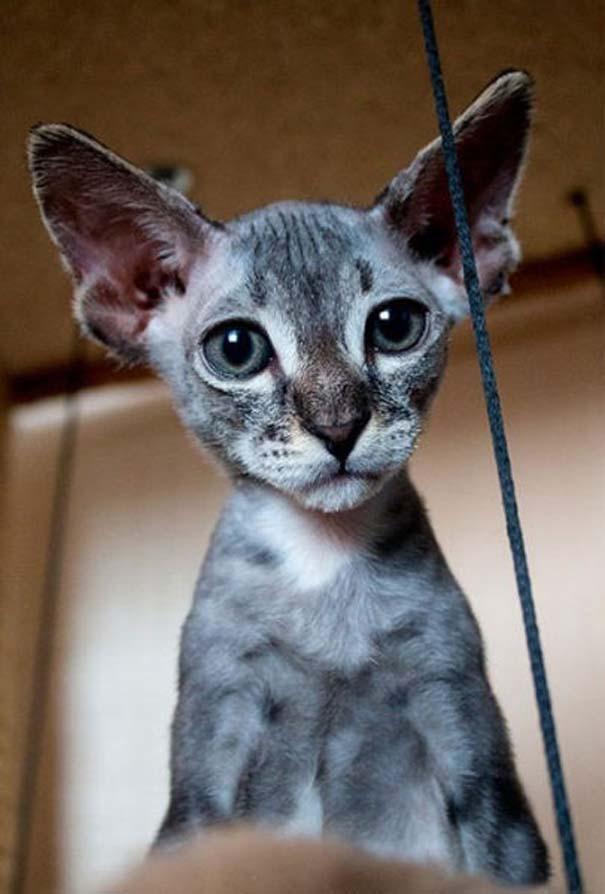 Νόμιζε πως αγόρασε γάτα - Σφίγγα (1)