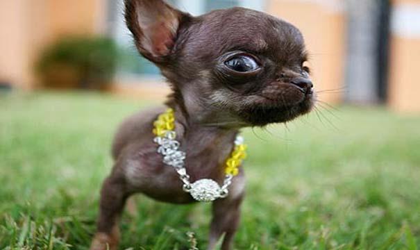 Ο μικρότερος σκύλος στον κόσμο (1)
