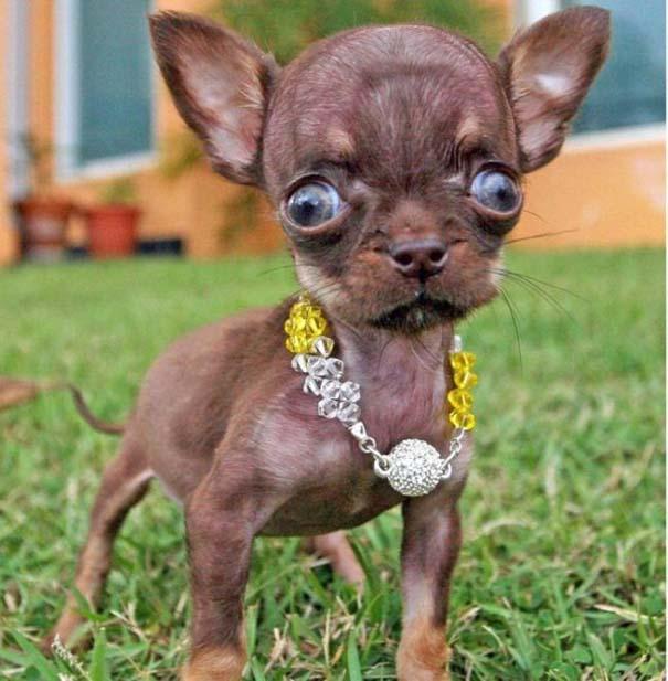 Ο μικρότερος σκύλος στον κόσμο (2)
