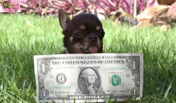 Ο μικρότερος σκύλος στον κόσμο (3)