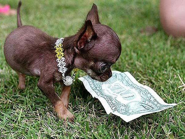 Ο μικρότερος σκύλος στον κόσμο (4)