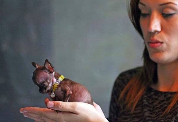 Ο μικρότερος σκύλος στον κόσμο (7)