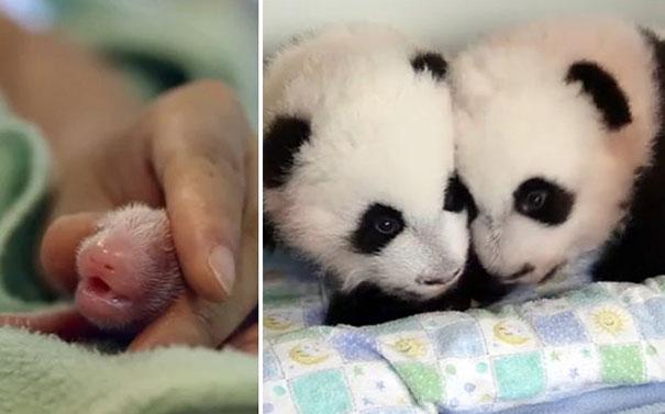 Οι 100 πρώτες μέρες δύο νεογέννητων Panda