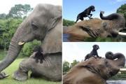 Η απίστευτη φιλία ενός ελέφαντα με ένα σκύλο (2)