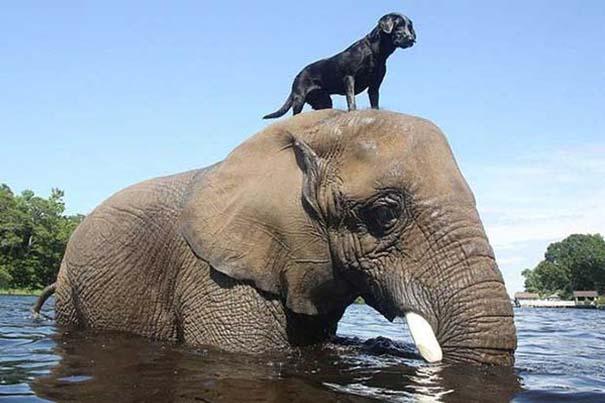 Η απίστευτη φιλία ενός ελέφαντα με ένα σκύλο (4)