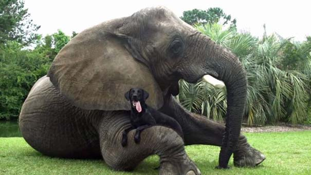 Η απίστευτη φιλία ενός ελέφαντα με ένα σκύλο (6)