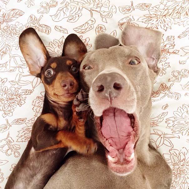 Ένα απίθανο δίδυμο σκύλων (3)