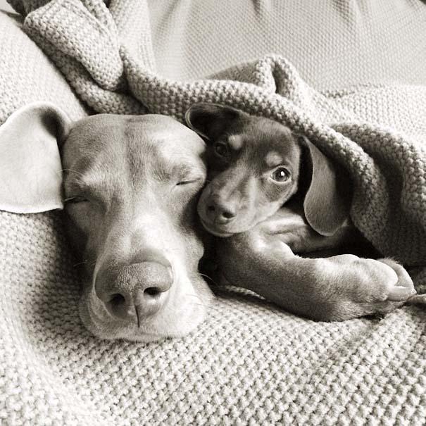Ένα απίθανο δίδυμο σκύλων (4)
