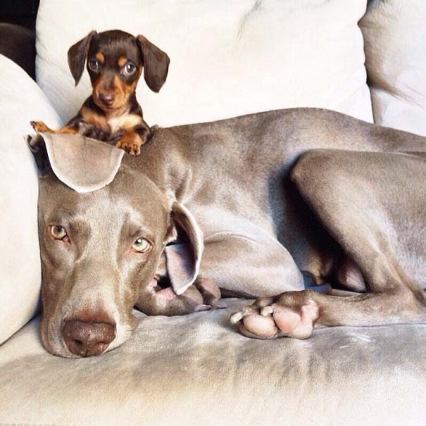 Ένα απίθανο δίδυμο σκύλων (5)