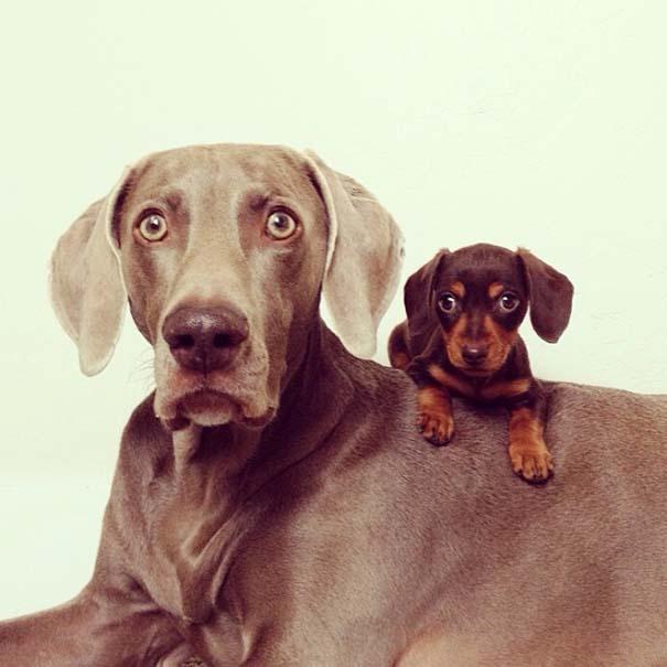 Ένα απίθανο δίδυμο σκύλων (7)