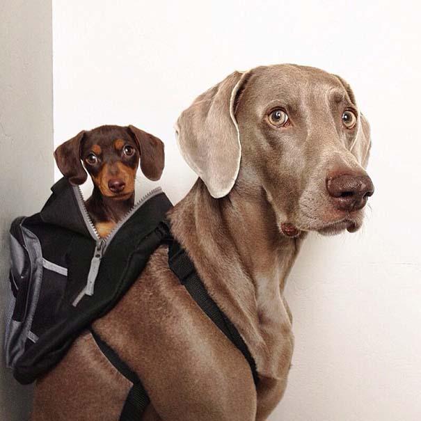 Ένα απίθανο δίδυμο σκύλων (8)
