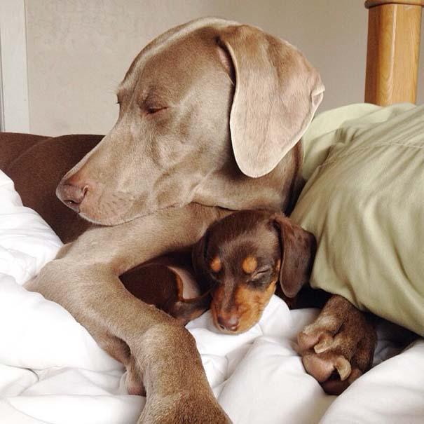 Ένα απίθανο δίδυμο σκύλων (11)