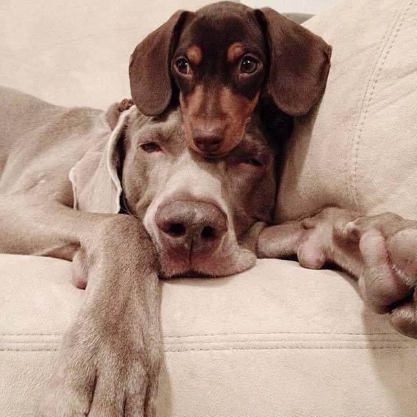 Ένα απίθανο δίδυμο σκύλων (15)