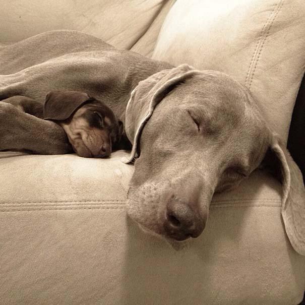 Ένα απίθανο δίδυμο σκύλων (16)
