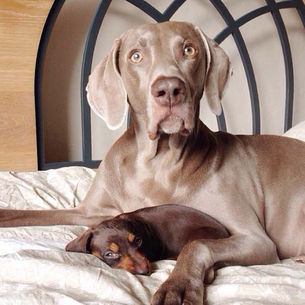 Ένα απίθανο δίδυμο σκύλων (17)