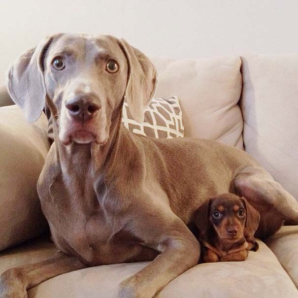 Ένα απίθανο δίδυμο σκύλων (18)