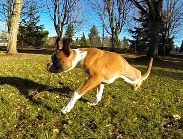 Ένα ευτυχισμένο δίποδο Boxer που δίνει μαθήματα ζωής (5)