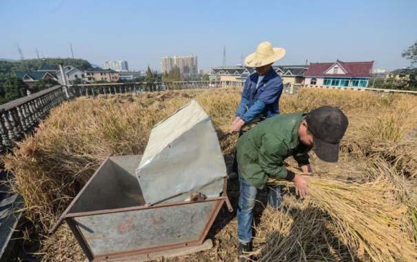 Κινέζος αγρότης έλυσε το πρόβλημα χώρου με έναν ασυνήθιστο τρόπο (2)