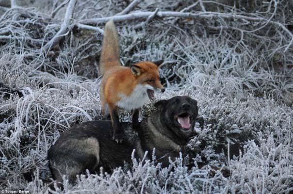 Η Αλεπού και το Λαγωνικό: Όταν το παραμύθι παίρνει σάρκα και οστά (1)