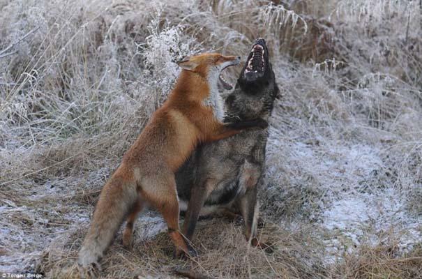 Η Αλεπού και το Λαγωνικό: Όταν το παραμύθι παίρνει σάρκα και οστά (3)