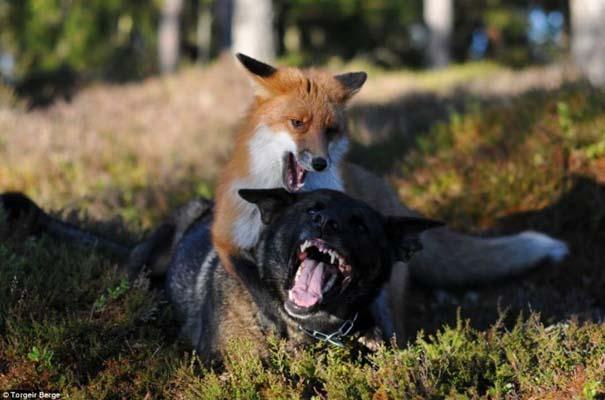 Η Αλεπού και το Λαγωνικό: Όταν το παραμύθι παίρνει σάρκα και οστά (10)