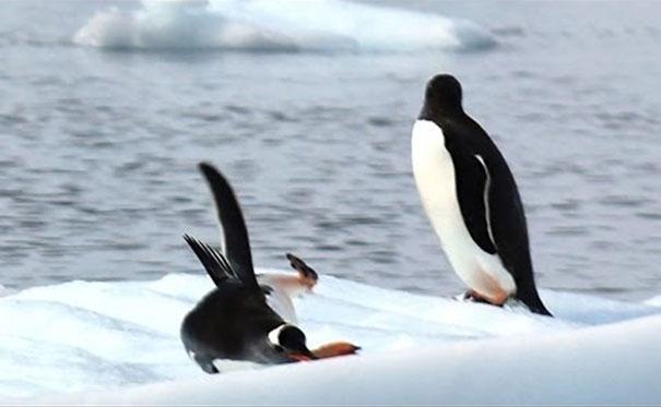 Οι πιο ατσούμπαλοι πιγκουίνοι του κόσμου