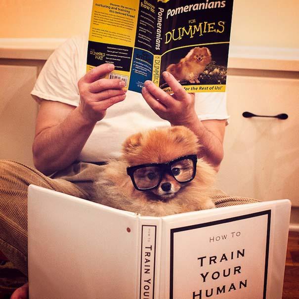 Flint: Ένα φωτογενές Pomeranian που θα σας κάνει να λιώσετε (1)