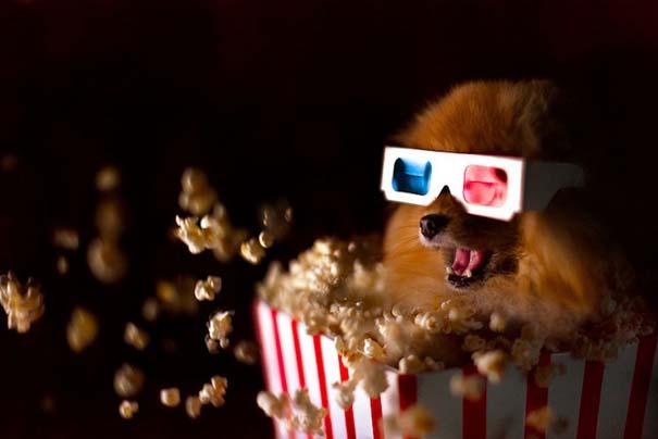 Flint: Ένα φωτογενές Pomeranian που θα σας κάνει να λιώσετε (2)