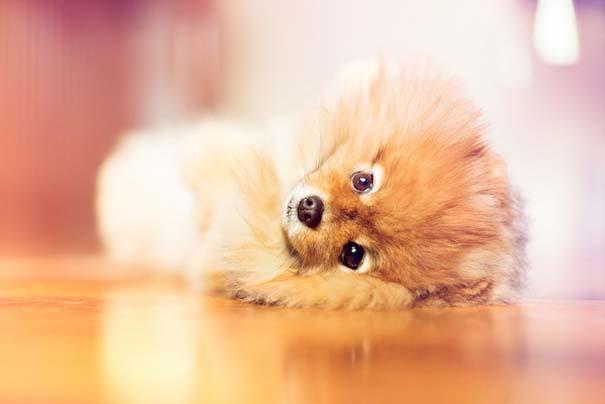 Flint: Ένα φωτογενές Pomeranian που θα σας κάνει να λιώσετε (4)