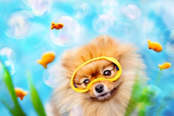Flint: Ένα φωτογενές Pomeranian που θα σας κάνει να λιώσετε (5)