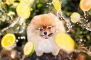 Flint: Ένα φωτογενές Pomeranian που θα σας κάνει να λιώσετε (7)