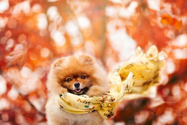 Flint: Ένα φωτογενές Pomeranian που θα σας κάνει να λιώσετε (9)