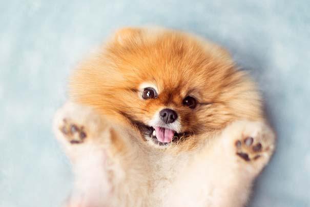 Flint: Ένα φωτογενές Pomeranian που θα σας κάνει να λιώσετε (11)