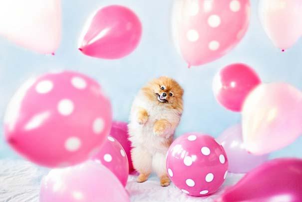 Flint: Ένα φωτογενές Pomeranian που θα σας κάνει να λιώσετε (12)