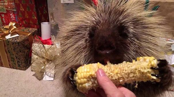 Σκαντζόχοιρος τρώει καλαμπόκι και παραμιλάει από την απόλαυση