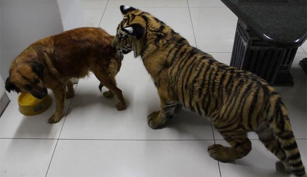 Σκύλος δείχνει σε κατοικίδια τίγρη ποιος κάνει κουμάντο στο σπίτι