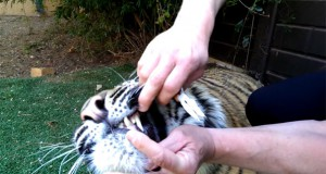 Αφαίρεση χαλασμένου δοντιού από το στόμα μιας τίγρης (Video)