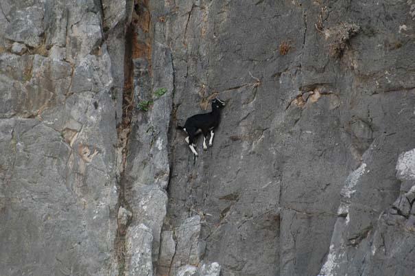 Αγριοκάτσικα - ορειβάτες που δεν ξέρουν τι θα πει φόβος (1)