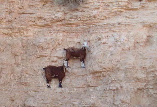 Αγριοκάτσικα - ορειβάτες που δεν ξέρουν τι θα πει φόβος (2)